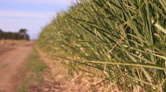 sugar cane double focus pull - stock footage