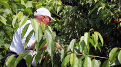 Gathering ripe cherries from cherry tree, farmer picking delicious fruits Stock Footage
