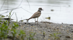 Killdeer displaying vocalization on lake shore Stock Footage
