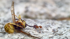 Myrmica rubra fire ant pulling away dead wasp Stock Footage