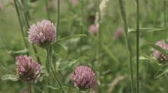 Trifolium pratensis, non color grade Full HD (1920x1080) Stock Footage
