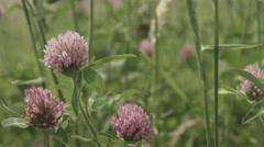 Trifolium pratensis, non color grade 4K (3840x2160) - stock footage