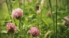 Trifolium pratensis, color grade 4K (3840x2160) - stock footage