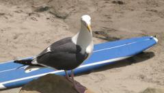 Talking Surfer Seagull Beach Bird Narrator Surfboard Sand Funny -3 Stock Footage