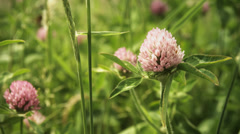 Trifolium pratensis 02, color grade Full HD (1920x1080) Stock Footage