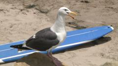 Talking Surfer Seagull Beach Bird Narrator Surfboard Sand Funny -2 Stock Footage