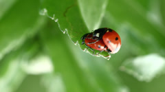 Coccinellidae ladybug mating unrestrained 6/6 Stock Footage