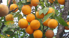Oranges in the tree Stock Footage
