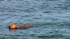 Dog swimming in the sea Stock Footage