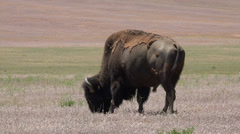 Wildlife American Bison buffalo graze in prairie meadow HD Stock Footage