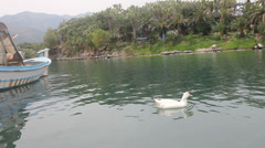 Goose near a  boat in the bay closeup Stock Footage