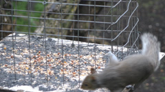 Grey Squirrel On A Bird Table Stock Footage