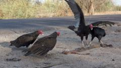 Vultures Fighting over Road Kill Stock Footage