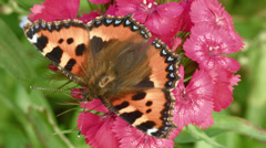 Aglais urticae orange butterfly Stock Footage