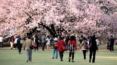 Japanese tourists Shinjuku Gyoen Park cherry blossom Tokyo Stock Footage