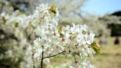 Japanese Tree Cherry Blossom Shinjuku Gyoen Nature Travel Tokyo Japan Stock Footage