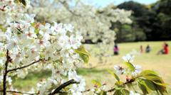 Cherry Blossom Sakura Trees Japanese Shinjuku Gyoen Park Tokyo Japan Stock Footage