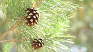 Stock Video Footage of Pine cone on a tree.