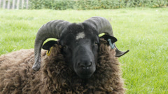 Cotswold breed ram, head close up Stock Footage