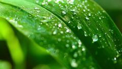 Raindrops on leaves. Stock Footage