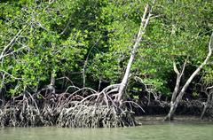mangrove forest with dense tangle of prop roots - stock photo