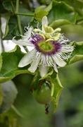 passion fruit flower on the tree - stock photo