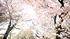 Sakura Tree Outdoors Japanese Cherry Blossom Shinjuku Gyoen Tokyo - stock footage