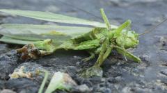 Locusts on road Stock Footage