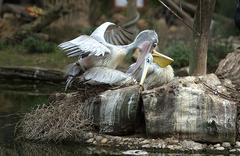 pink-backed pelican making love - stock photo