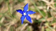 Stock Video Footage of Gentiana brachyphylla