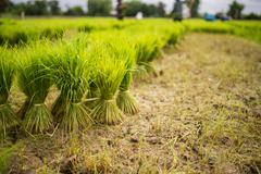 Bouquet of young rice plant Stock Photos