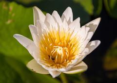 Single white lotus flower Stock Photos