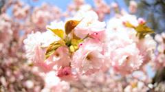 Travel Tourism Shinjuku Gyoen Pink Japanese Cherry Blossom Fruit Tree Tokyo - stock footage