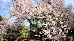 Pink Japanese Cherry Blossom Fruit Tree Shinjuku Gyoen National Park Tokyo - stock footage