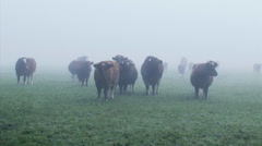 Deep Red cattle, herd in mist - on camera Stock Footage