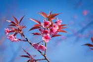 Stock Photo of wild himalayan cherry sakura blossom