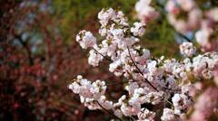 Nature Outdoors Pink Japanese Cherry Blossom Fruit Tree Shinjuku Gyoen Tokyo Stock Footage