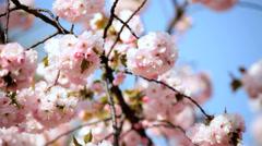Sakura Tree Outdoors Japanese Cherry Blossom Shinjuku Gyoen Tokyo Stock Footage