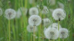Stock Video Footage of Dandelions in the wind.