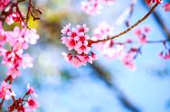 Stock Photo of Cherry Blossom