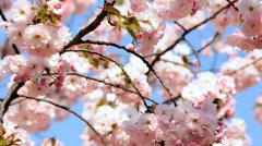 Travel Tourism Shinjuku Gyoen Pink Japanese Cherry Blossom Fruit Tree Tokyo Stock Footage