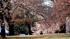 Tree Pink Japanese Cherry Blossom Visitor Destination Shinjuku Gyoen Tokyo Stock Footage