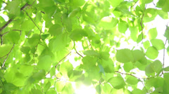 Green birch leaves. MVI 141314A216 Stock Footage
