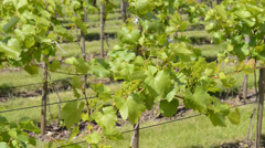 Vineyard in the spring, zoom in Stock Footage