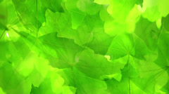 Green maple leaves. Stock Footage