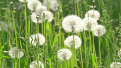 Dandelions in the wind. - stock footage