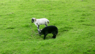 Stock Video Footage of Herdwick lambs learning about grazing