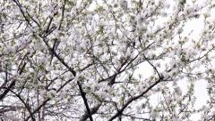 Blossomed Tree Top In The Wind Stock Footage