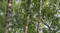 Birch trees in summer season: close-up of the bark. Italian Alps, Europe. 4K UHD Stock Footage