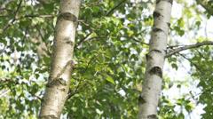Stock Video Footage of Birch trees in summer season: close-up of the bark. Italian Alps, Europe. 4K UHD